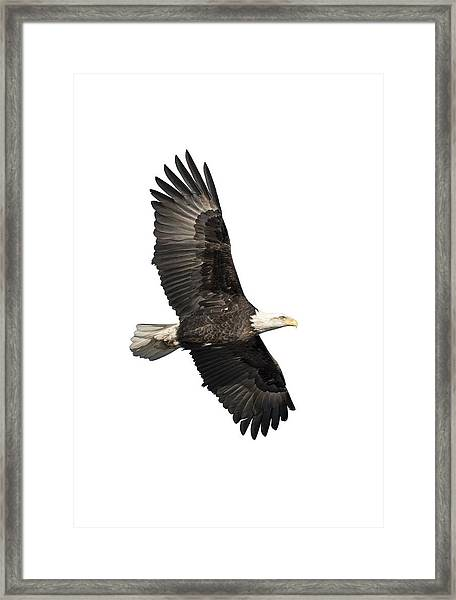 Isolated American Bald Eagle 2016-4 Framed Print