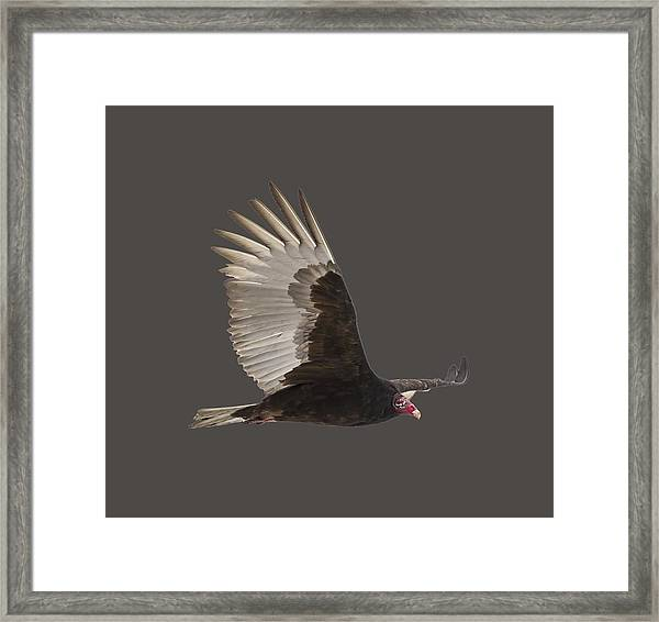 Isolated Turkey Vulture 2014-1 Framed Print