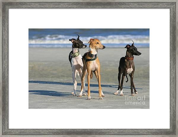 Italian Greyhounds On The Beach Framed Print