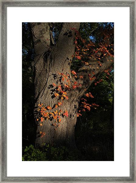 Ivy In The Fall Framed Print
