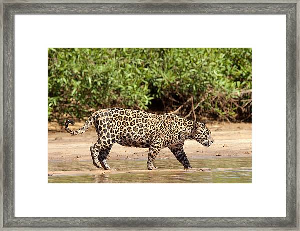 Jaguar Walking On A River Bank Framed Print