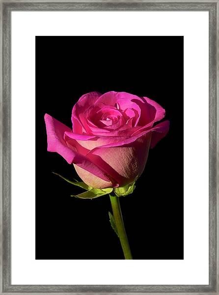 January Rose Framed Print