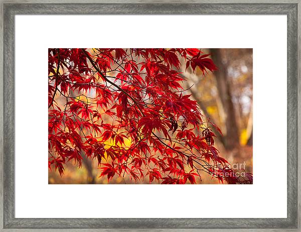 Framed Print featuring the photograph Japanese Maples by Susan Cole Kelly