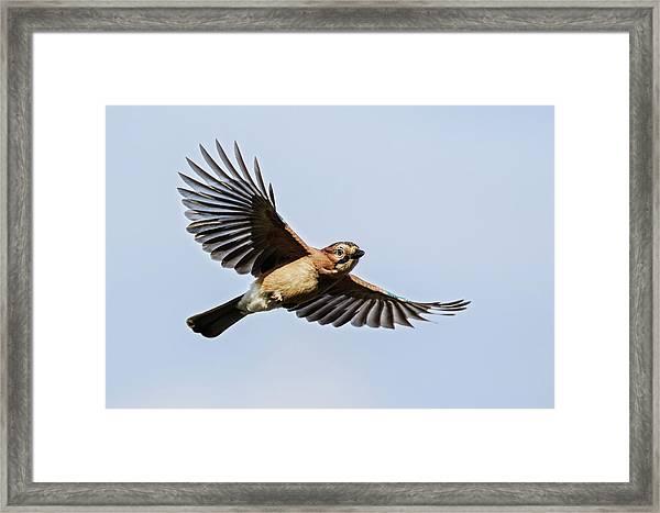 Jay In Flight Framed Print