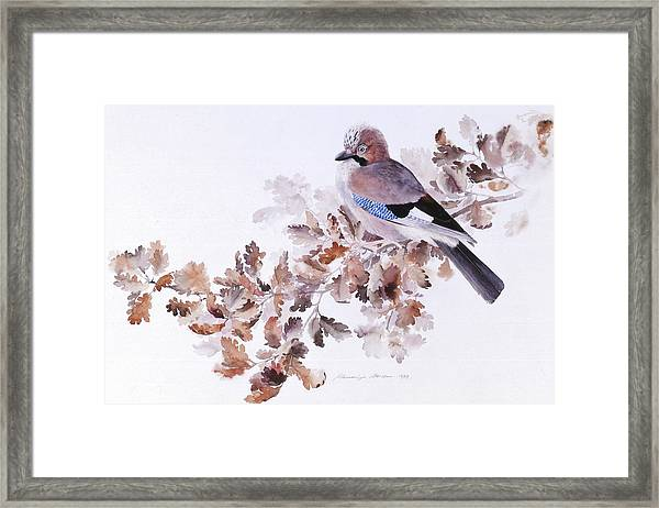Jay On A Dried Oak Branch Framed Print
