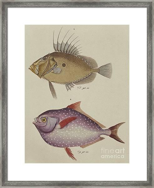 John Dory And Opah Framed Print