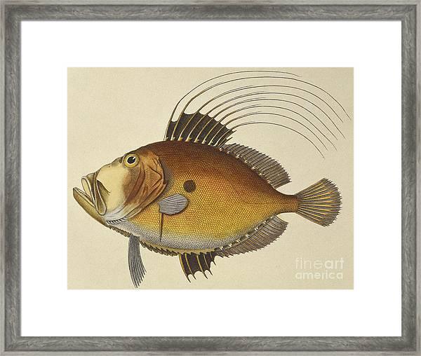 John Dory Framed Print
