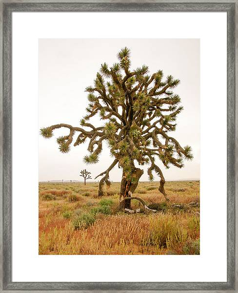 Joshua Trees In Desert Framed Print