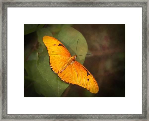 Julia Dryas Butterfly-2 Framed Print