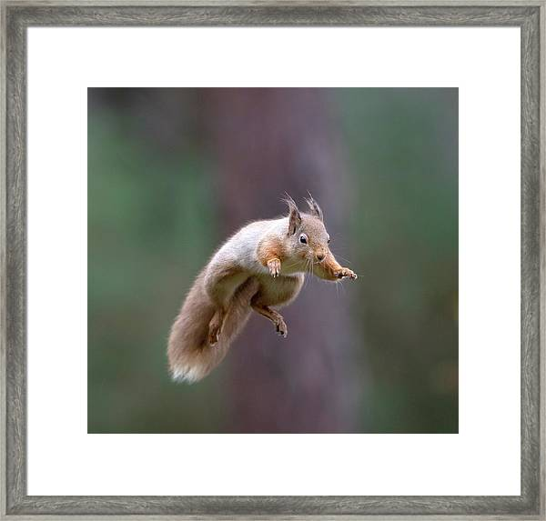 Jumping Red Squirrel Framed Print