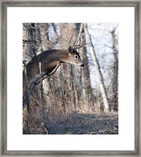 Jumping White-tail Buck Framed Print