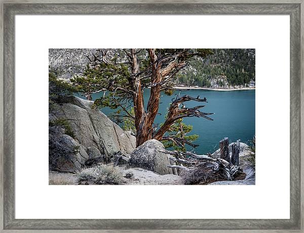 June Lake Juniper Framed Print