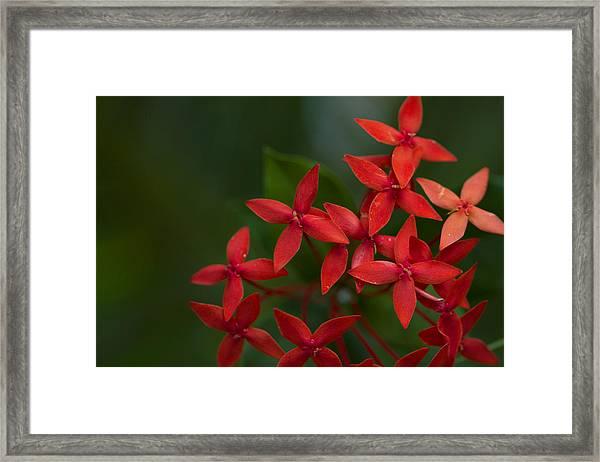 Jungle Geranium Framed Print