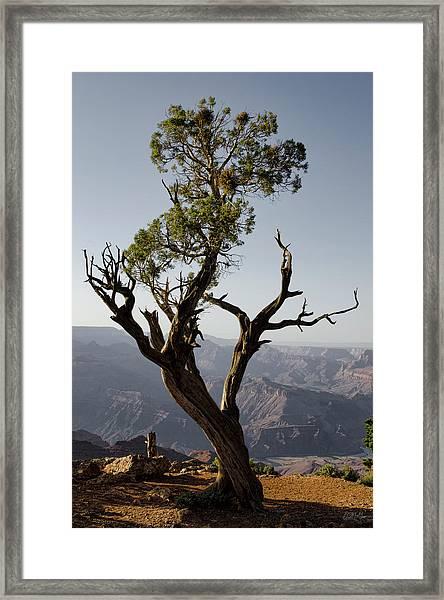 Juniper Tree At Grand Canyon II Framed Print