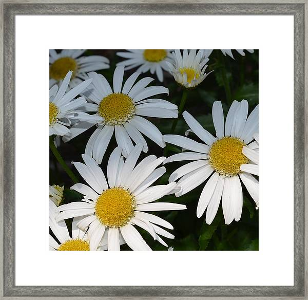 Just Daises Framed Print