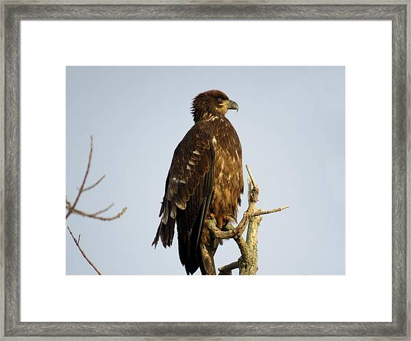 Juvenile Bald Eagle 1 Framed Print