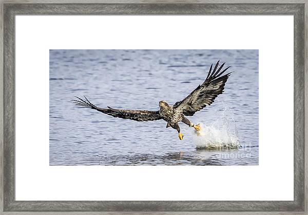 Juvenile Bald Eagle Fishing Framed Print
