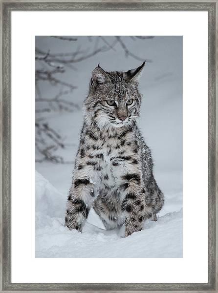 Juvenile Bobcat In The Snow Framed Print