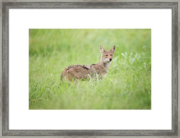 Juvenile Coyote Framed Print