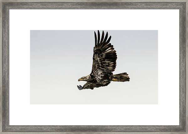 Juvenile Eagle Flying Framed Print