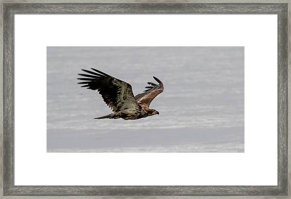 Juvenile Eagle Over The Ocean Framed Print