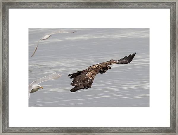 Juvenile Eagle With Gulls Framed Print