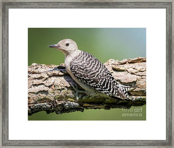 Juvenile Red-bellied Woodpecker Framed Print