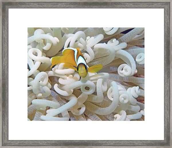 Juvenile Red Sea Clownfish, Eilat, Israel 3 Framed Print