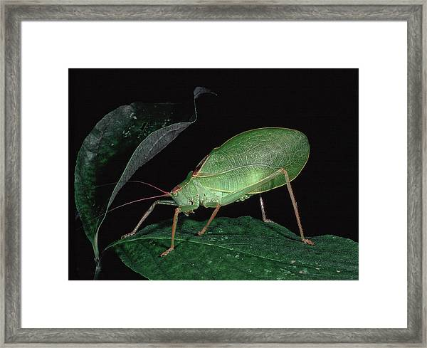 Katydid At Night Framed Print