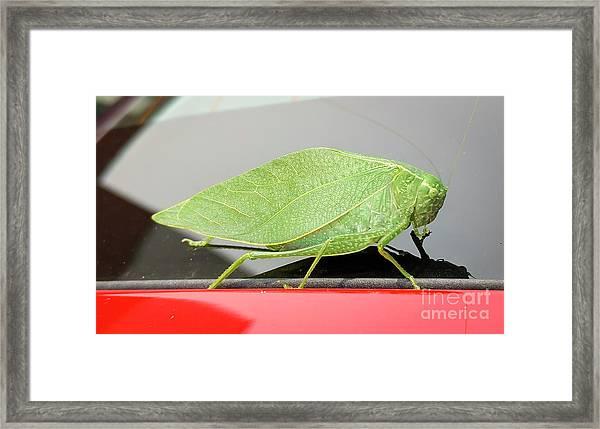 Katydids- Bush Crickets Framed Print