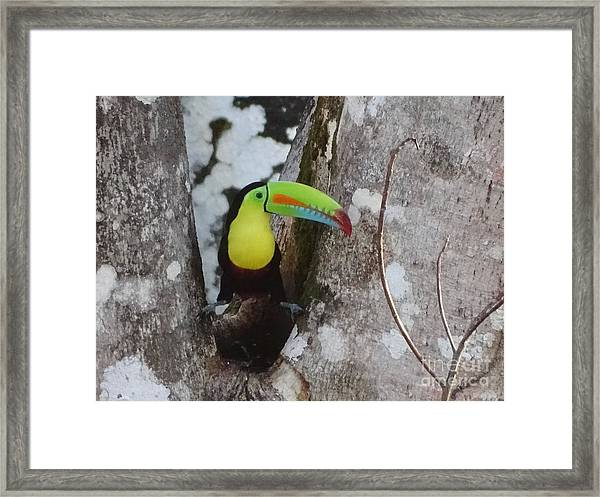 Keel-billed Toucan #2 Framed Print