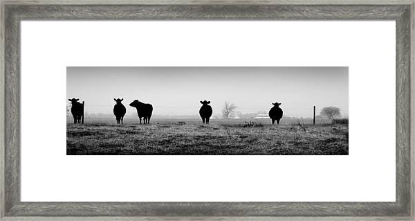 Kentucky Cows Framed Print