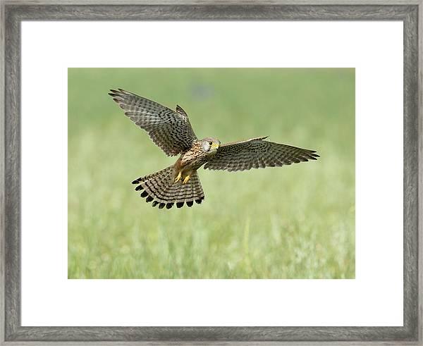 Kestrel In Flight Framed Print