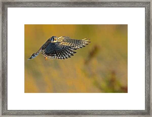 Framed Print featuring the photograph Kestrel Takes Flight by William Jobes