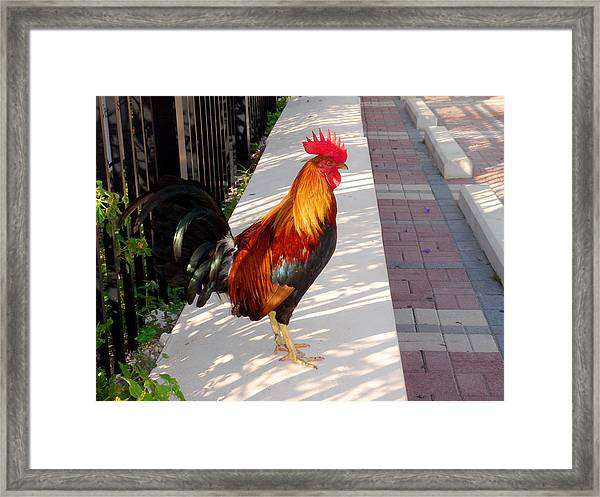 Key West Rooster Framed Print
