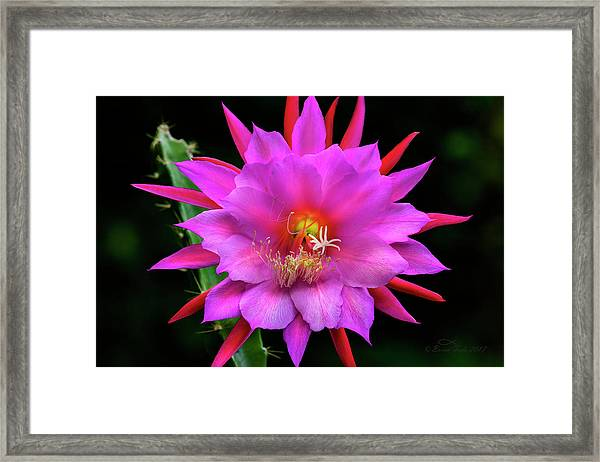 Kimnach's Pink Orchid Cactus Framed Print