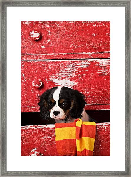 King Charles Cavalier Puppy  Framed Print