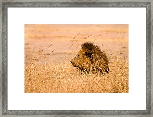 King Of The Pride Framed Print