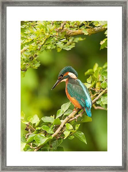 Kingfisher On Ivy Framed Print