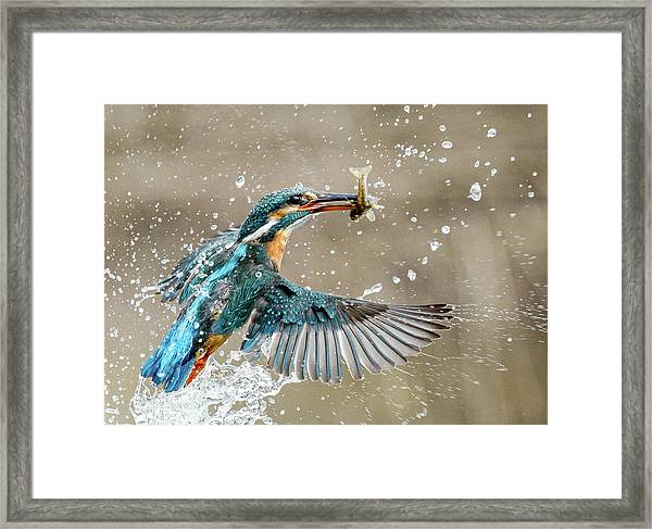 Kingfisher With Catch Framed Print
