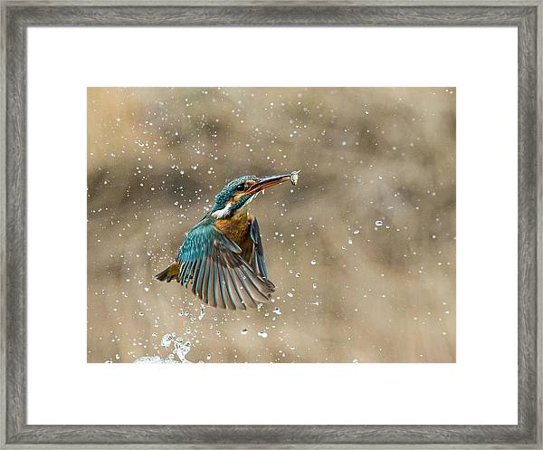 Kingfisher With Minnow Framed Print