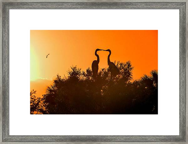 Kissing Herons  Framed Print