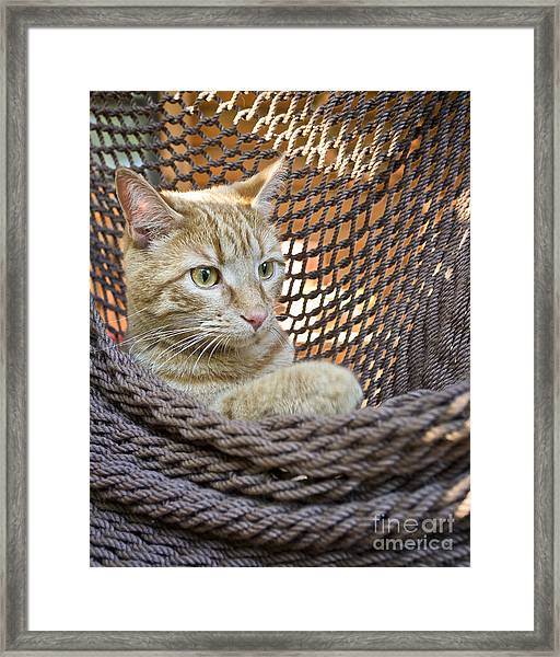 Kitten In A  Hammock Framed Print