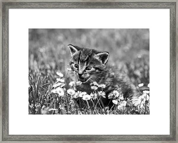 Kitten With Daisy's Framed Print