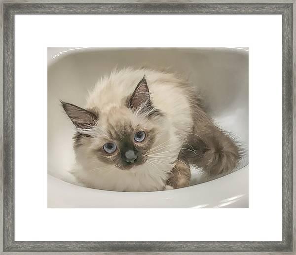 Kitty Blue Eyes Framed Print