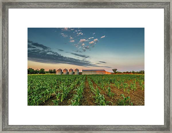 Knee High Sweet Corn Framed Print
