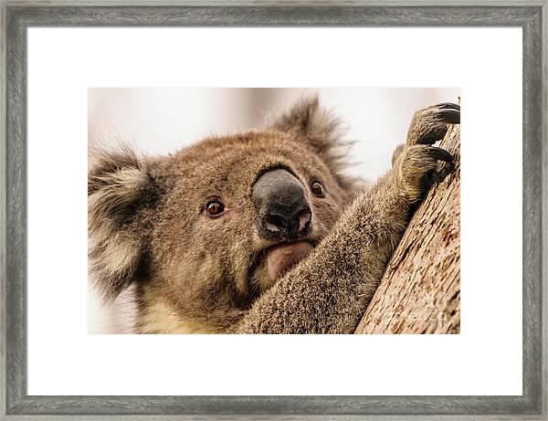Koala 3 Framed Print