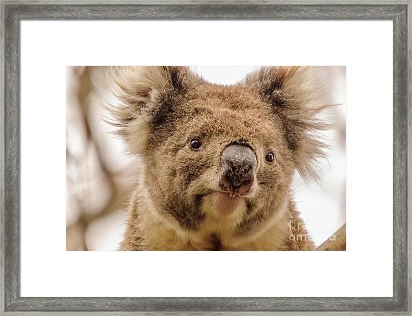 Koala 4 Framed Print
