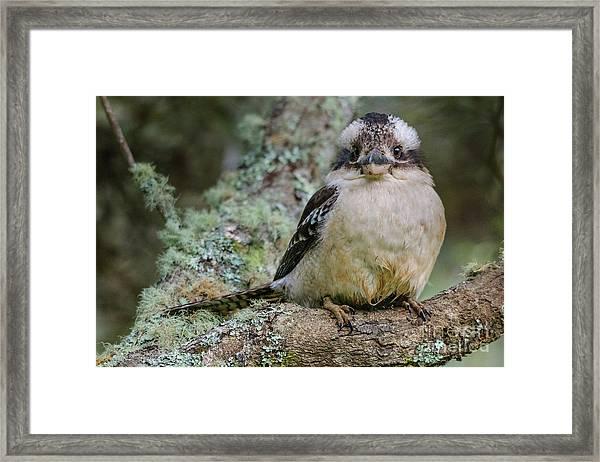 Kookaburra 3 Framed Print