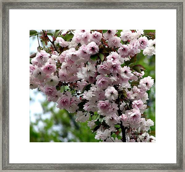 Japanese Cherry Tree Blossoms Highland Park Rochester Ny Watercolor Effect Framed Print